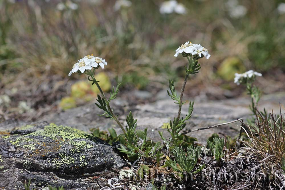 Achillea herba-rotta subsp. moschata