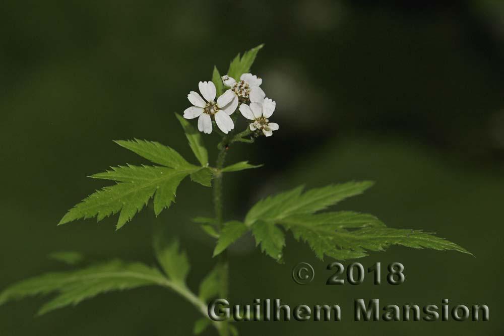 Achillea macrophylla