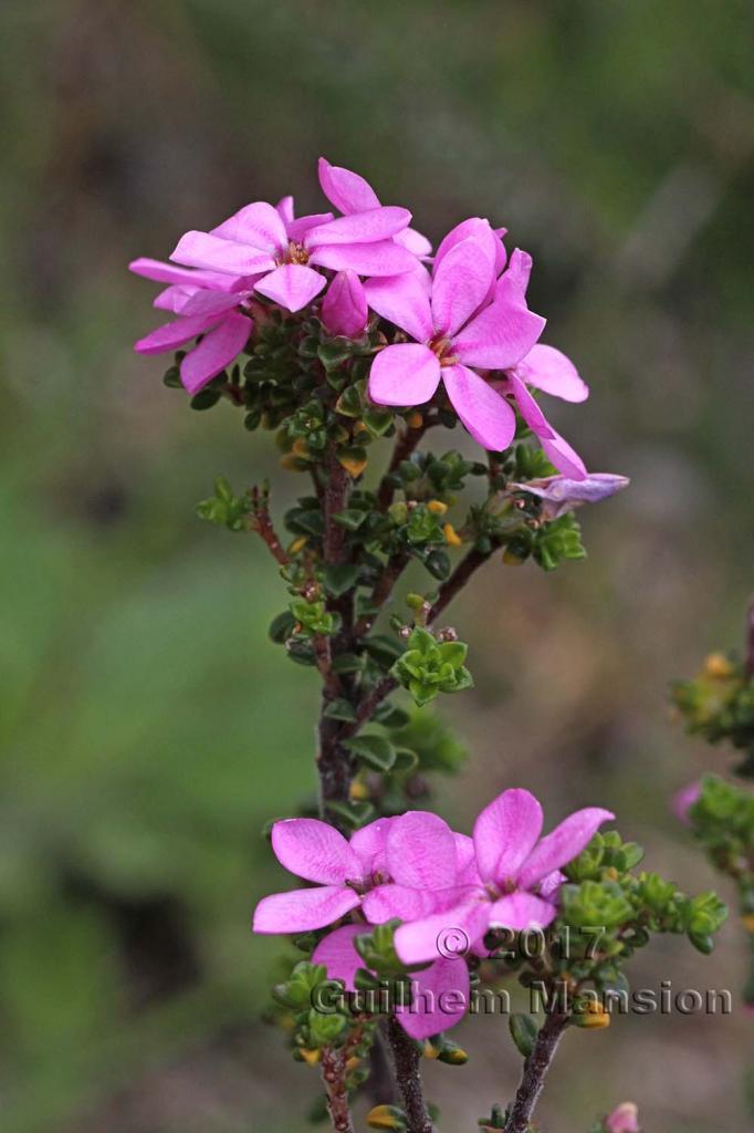 Acmadenia heterophylla
