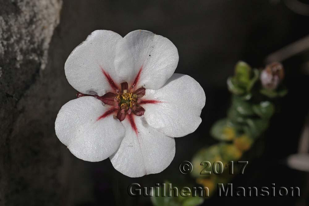 Adenandra uniflora