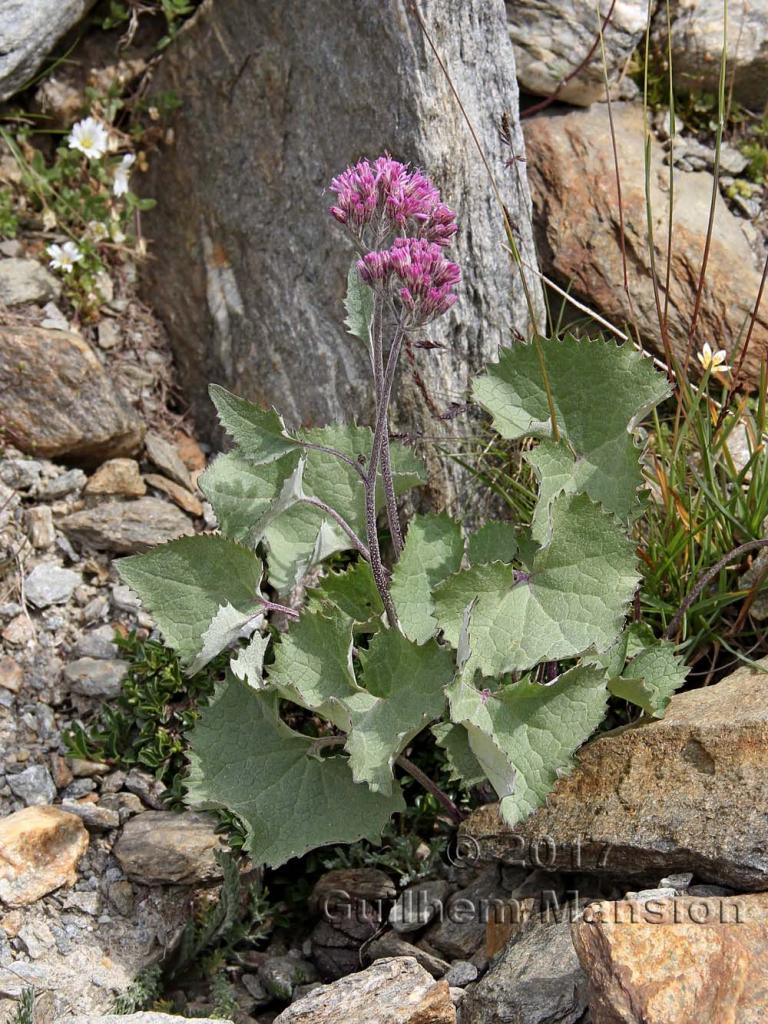 Adenostyle leucophylla