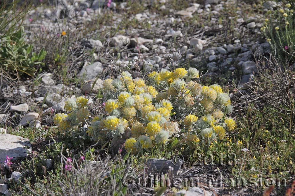 Anthyllis tejedensis subsp. plumosa