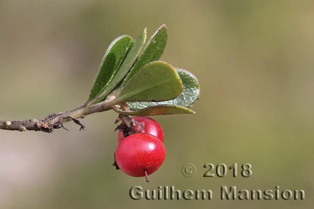 Arctostaphyllos uva-ursi