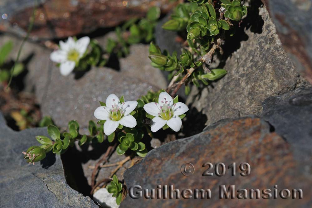 Arenaria biflora