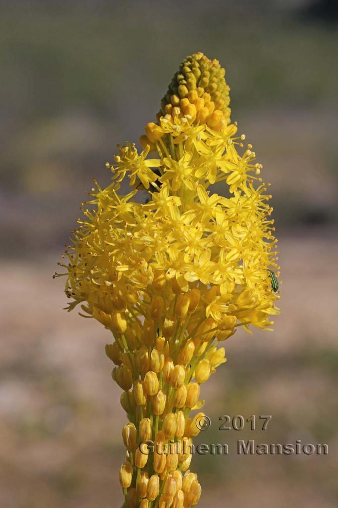 Bulbinella latifolia