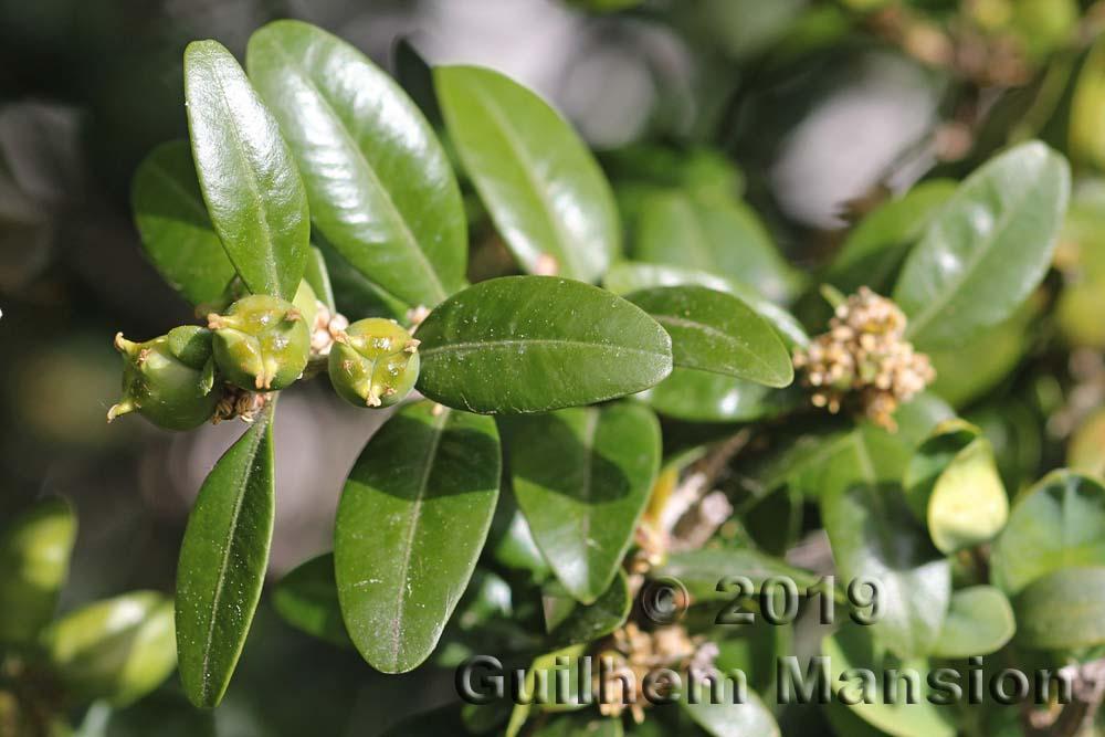 Buxaceae