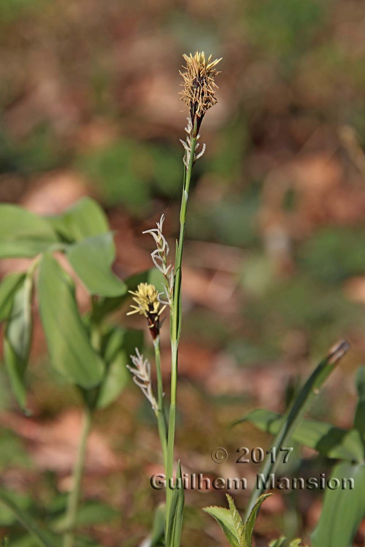 Carex pilosa