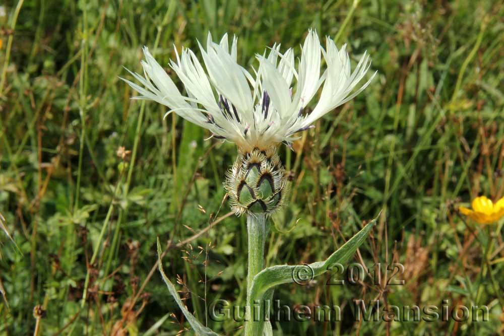 Centaurea cheirantifolia
