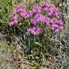 Centaurium rhodense