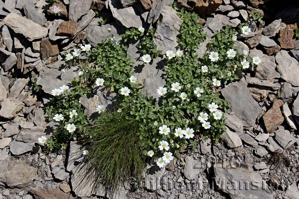 Cerastium latifolium