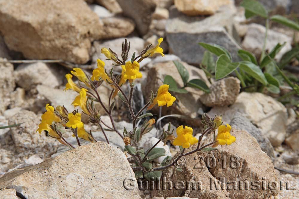 Chaenorhinum rubrifolium subsp. raveyi
