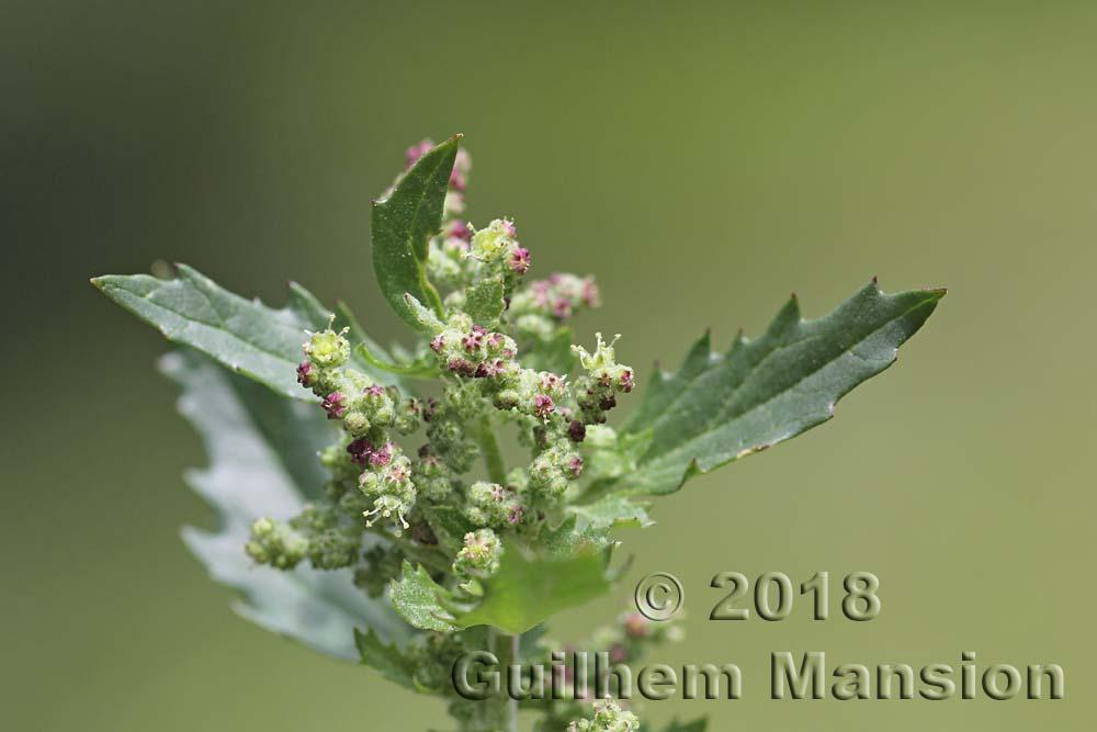 Amaranthaceae