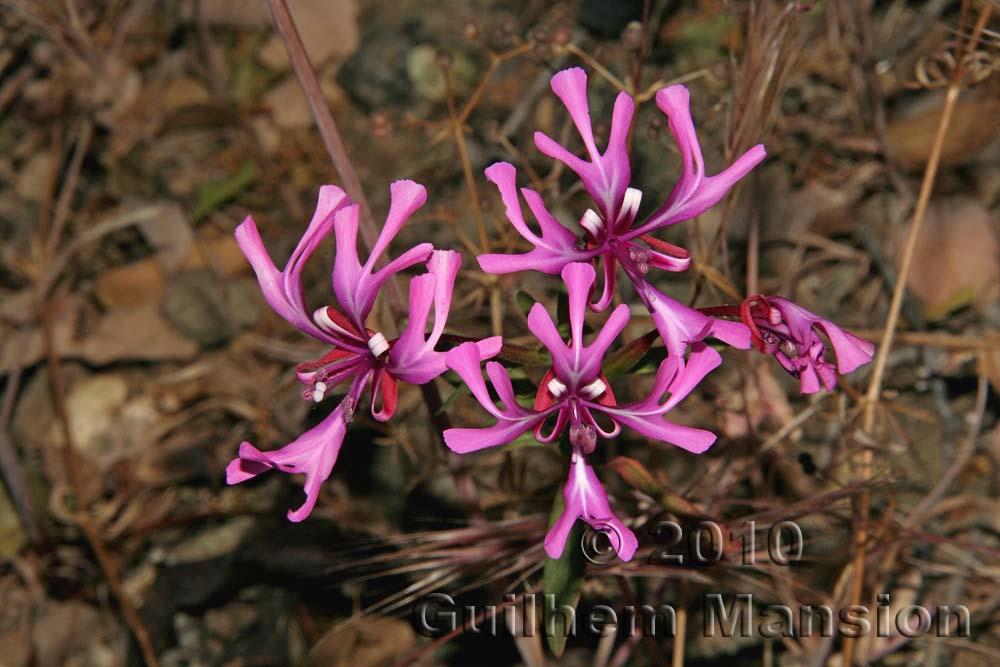 Onagraceae