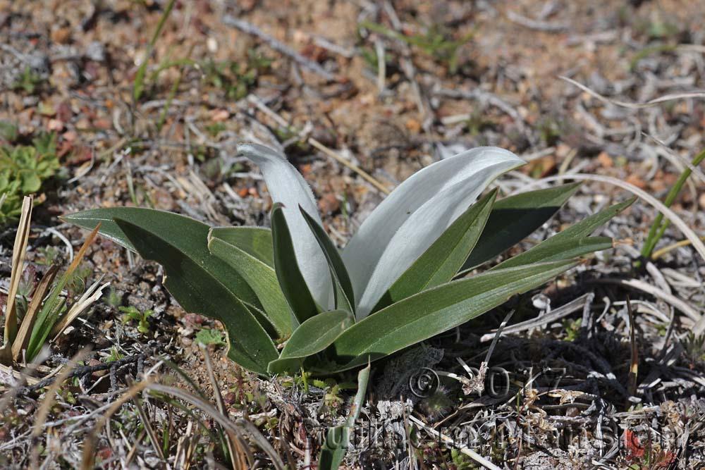 Colchicum capense ciliolatum