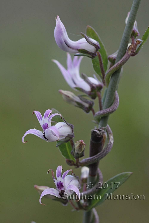 Cyphia sp.