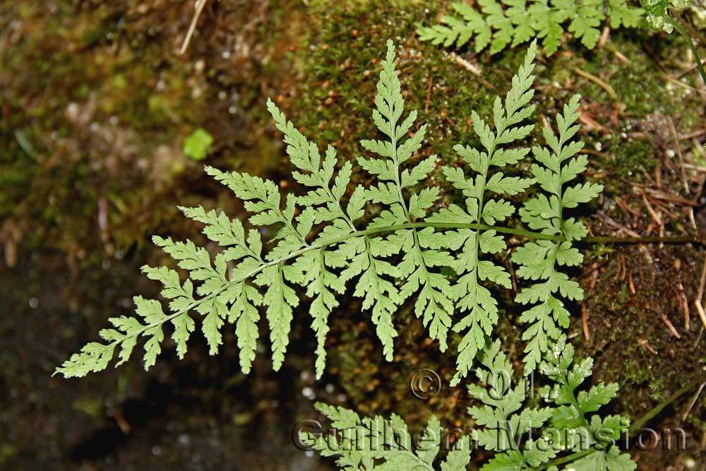 Cystopteridaceae