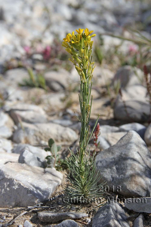 Erysimum myriophyllum