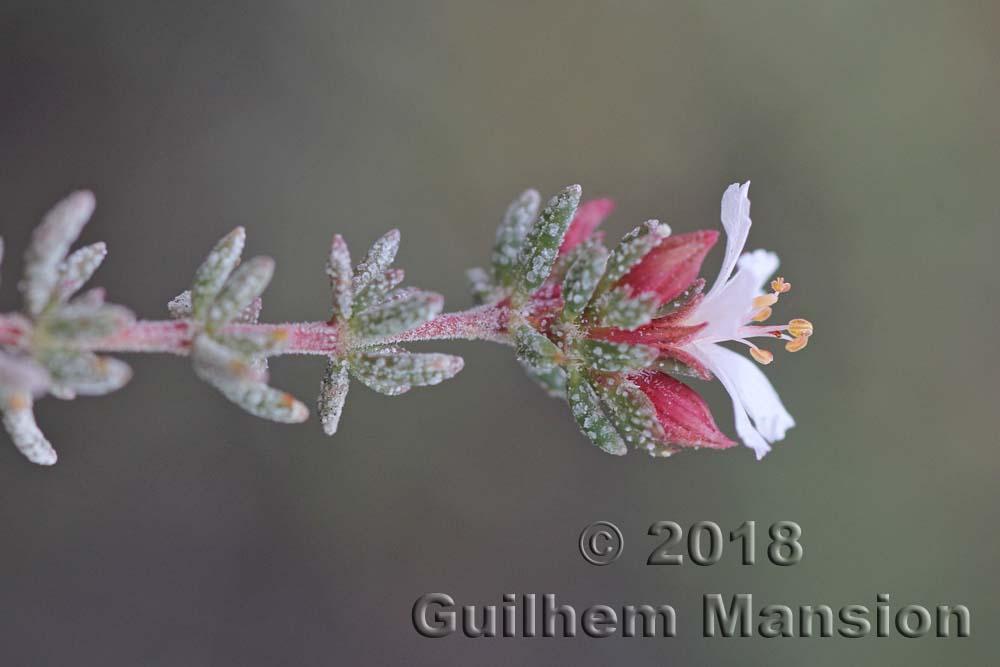 Frankeniaceae