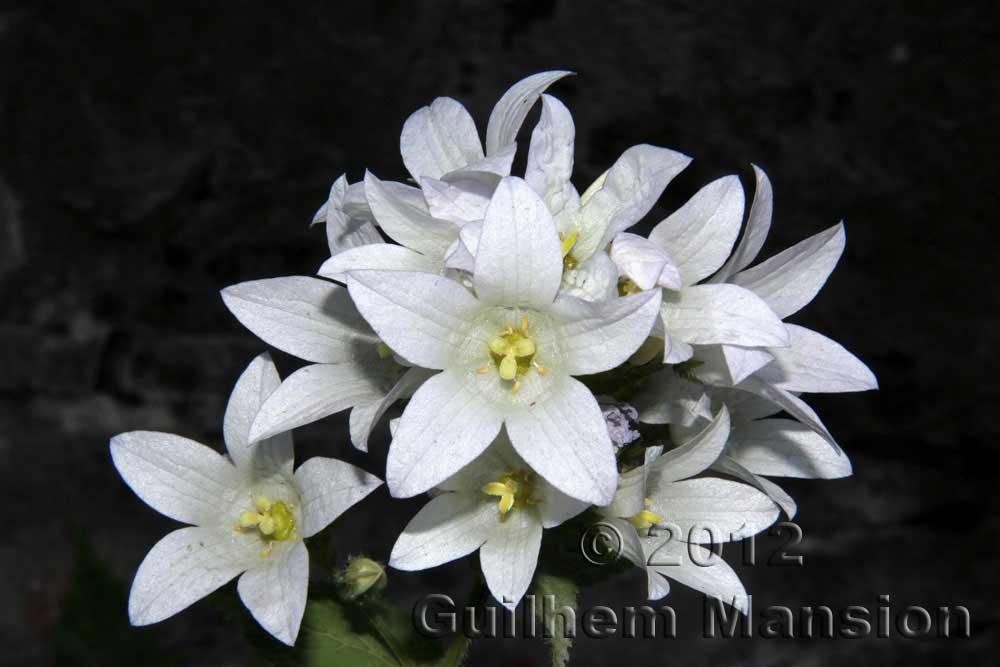 Campanula lactiflora [Gadellia lactiflora]