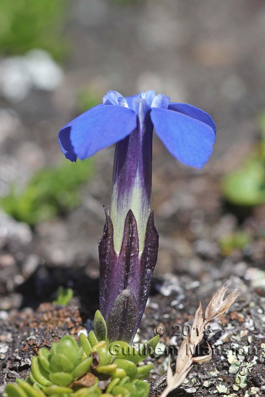 Gentiana bavarica var. subacaulis