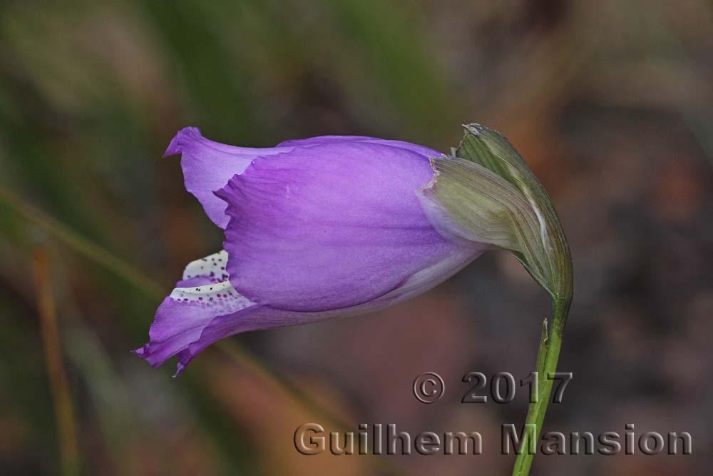 Gladiolus gracilis