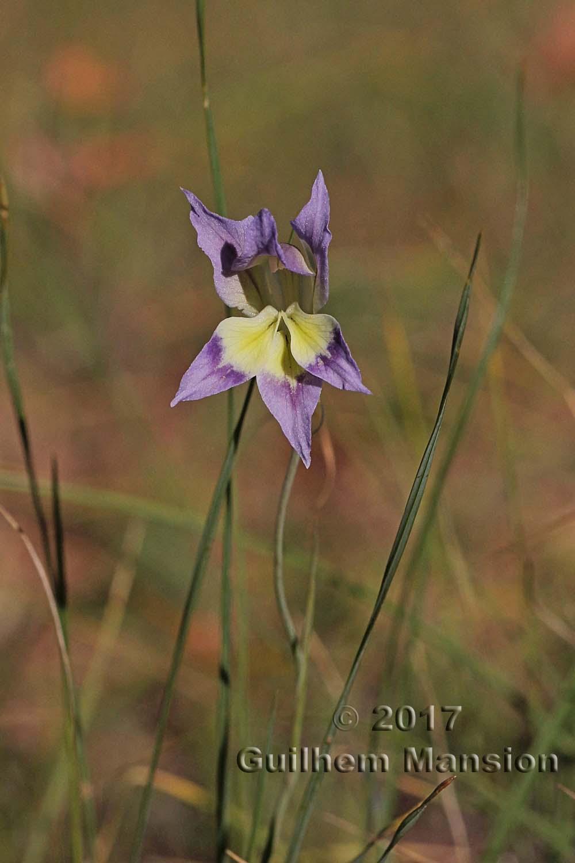 Gladiolus venustus
