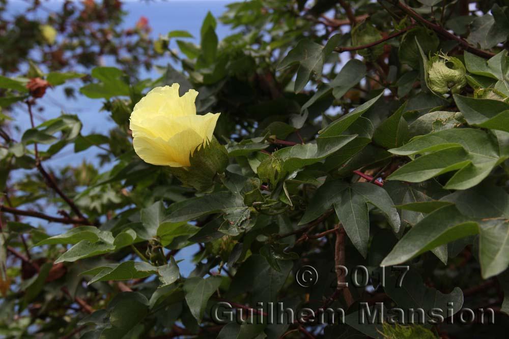 Gossypium arboreum