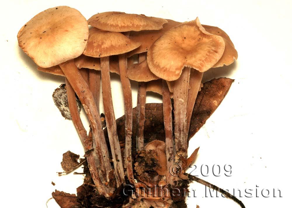 Marasmiaceae