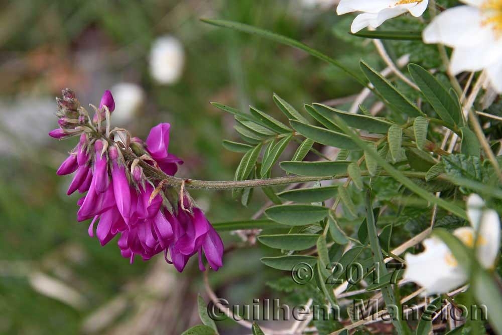 Hedysarum hedysaroides