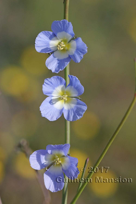 Heliophila sp.