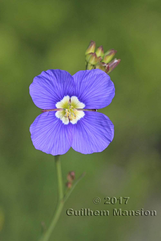 Heliophila coronopifolia