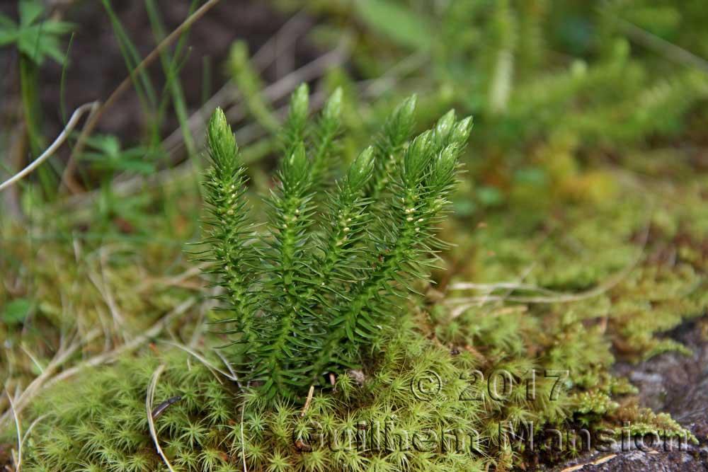 Lycopodiaceae