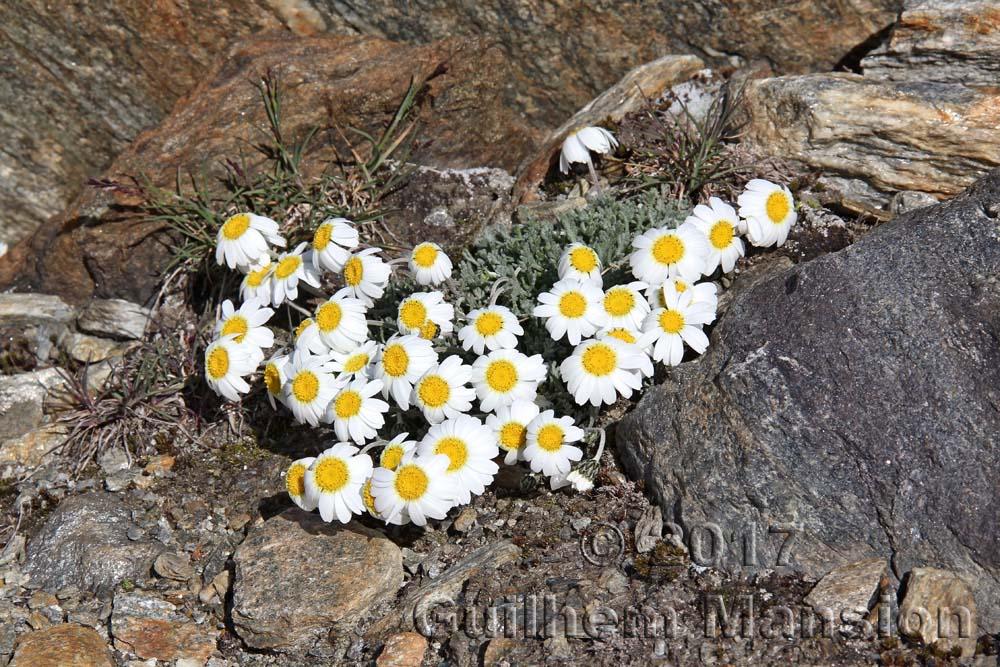 Leucanthemopsis minima