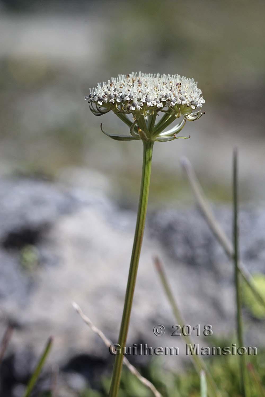 Ligusticum mutellinoides