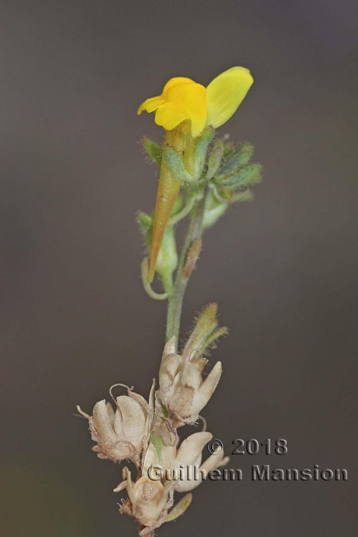 Linaria oblongifolia subsp. benitoi