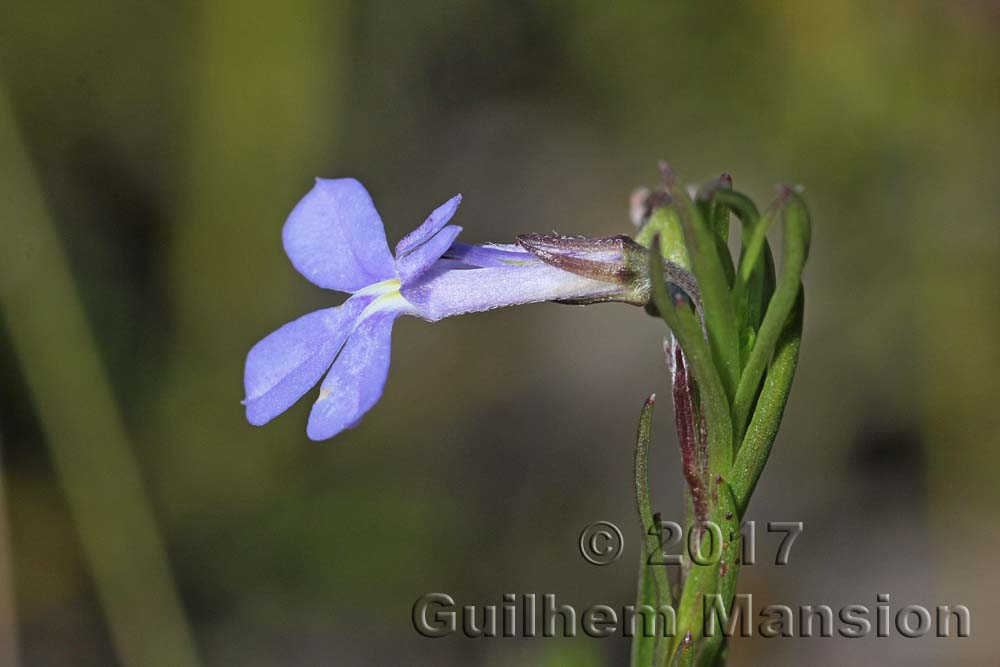 Lobelia pinifolia