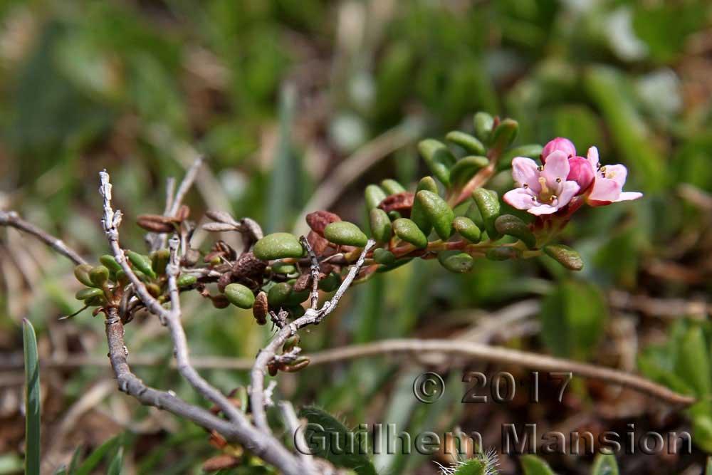 Loiseleuria procumbens