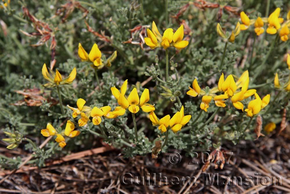 Lotus campylocladus