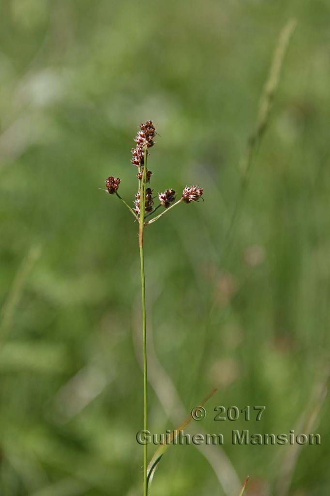Luzula multiflora