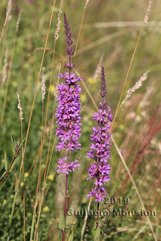 Lythraceae