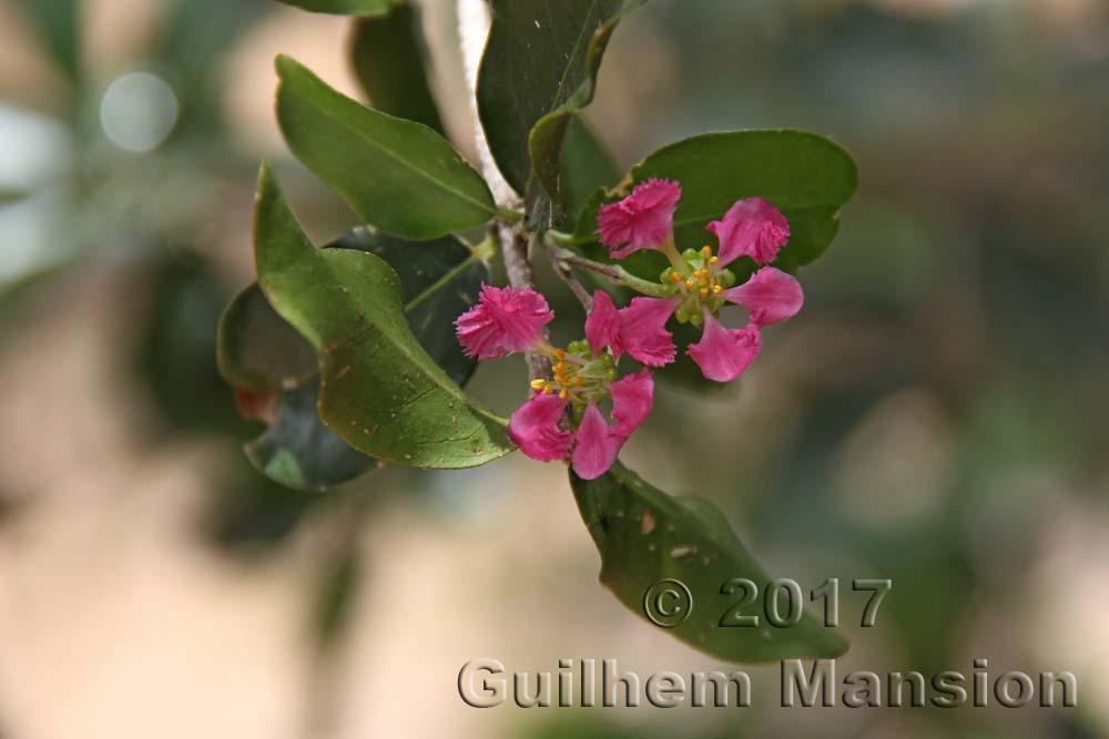 Malpighiaceae