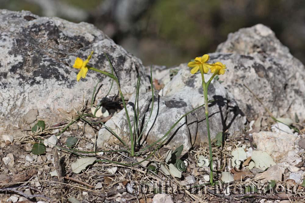 Narcissus gaditanus