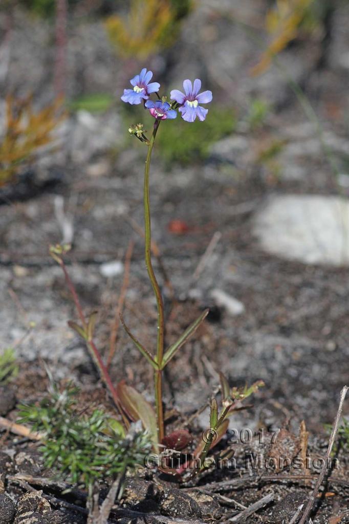 Nemesia affinis