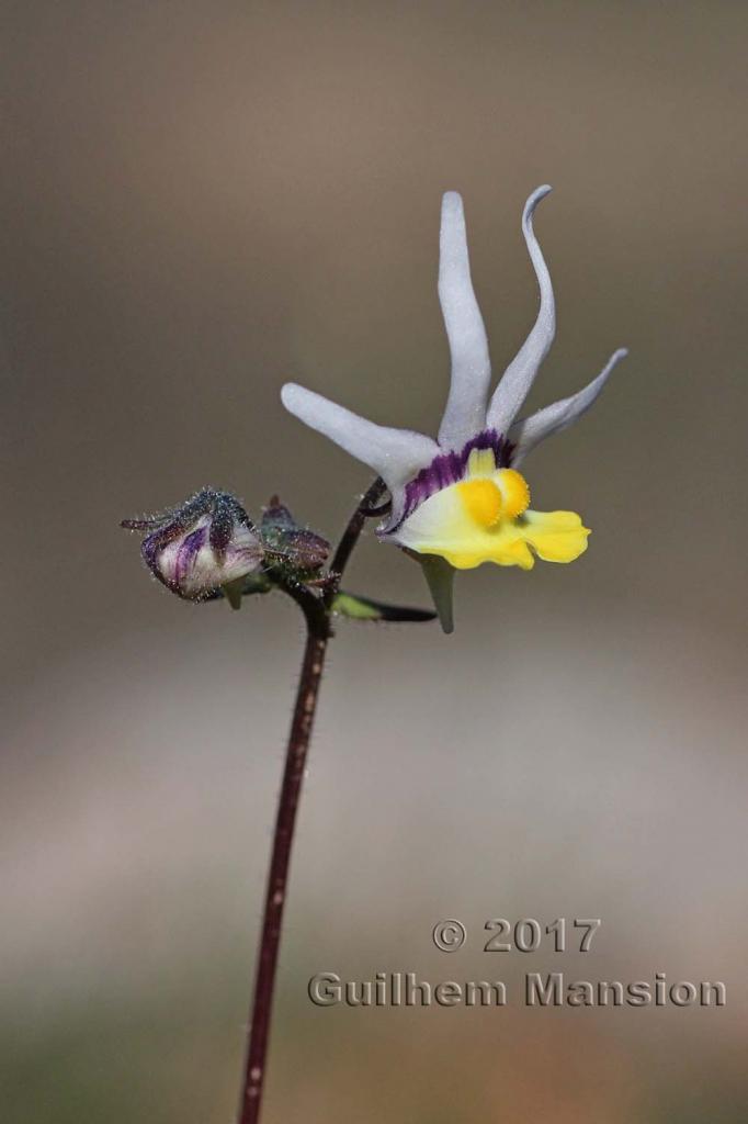Nemesia cheiranthus