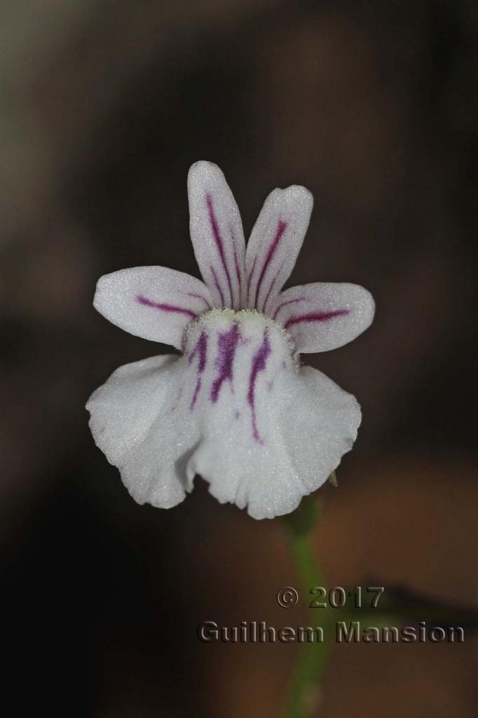 Nemesia diffusa