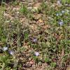 Microthlaspi perfoliatum [Thlaspi perfoliatum]