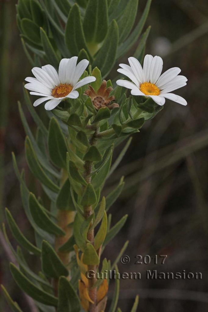Osmitopsis asteriscoides