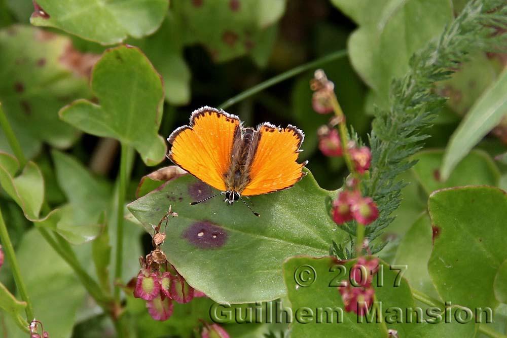 Papillon - Heodes virgaureae - Cuivré de la Verge-d'or
