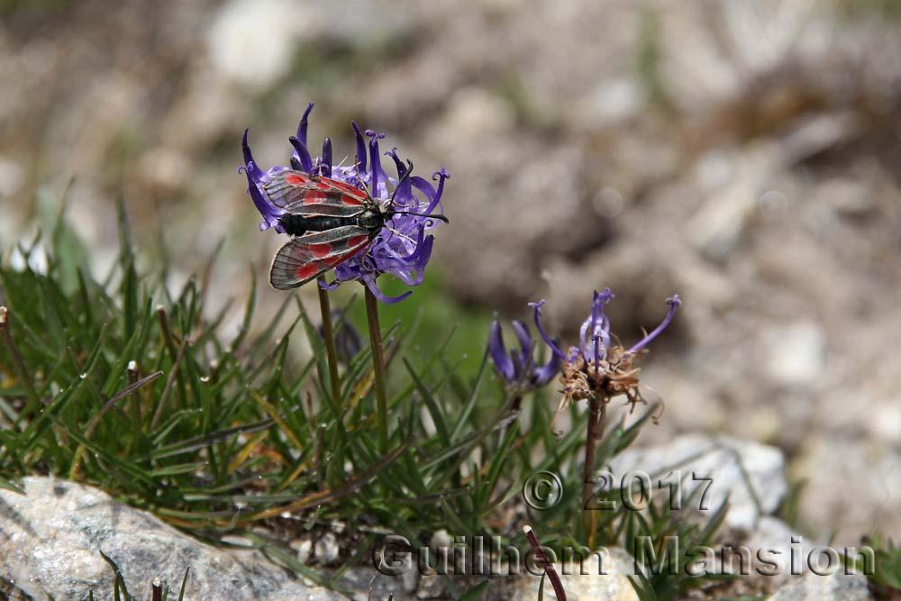 Butterfly - Zygaena sp.