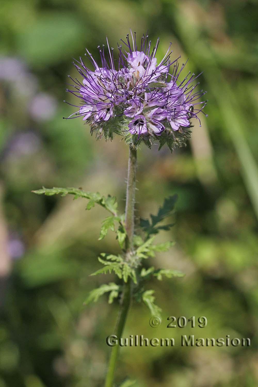 Hydrophyllaceae